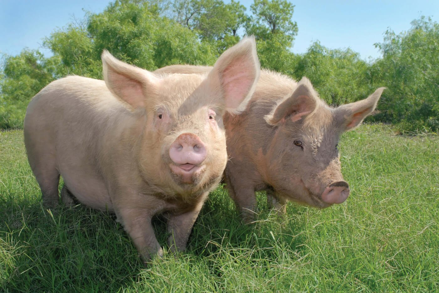 Happy Pigs from Rescued Calendar