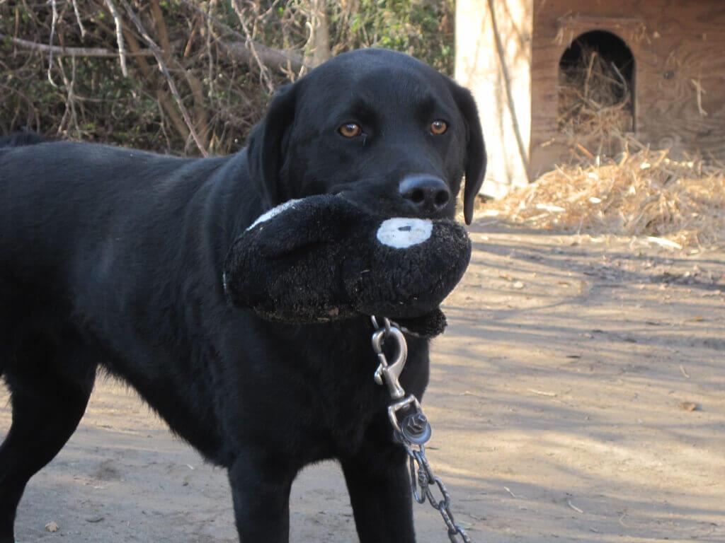 Black dog Smokie with CAP Toy