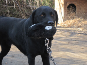 Black dog Smokie with CAP Toy