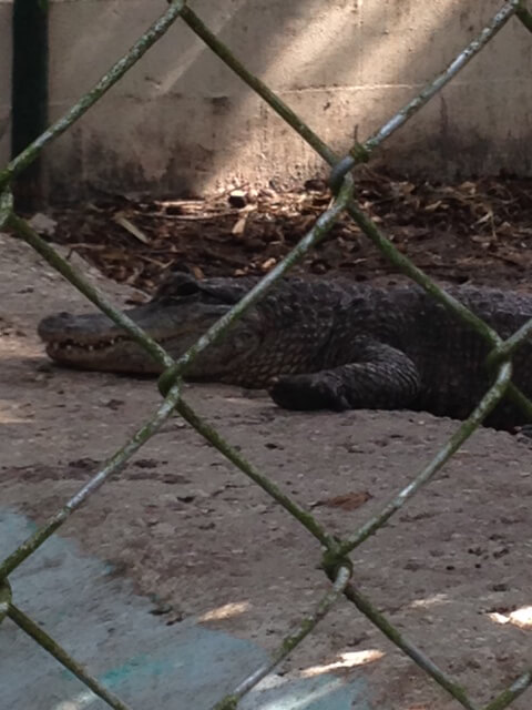 Suncoast Primate Sanctuary Alligator with Swollen Feet