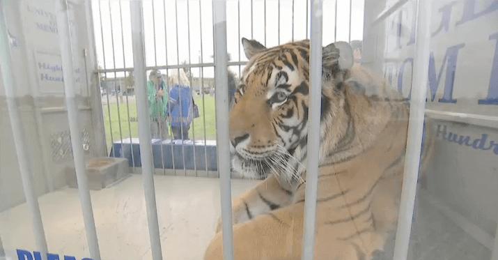 Tom the Tiger Mascot