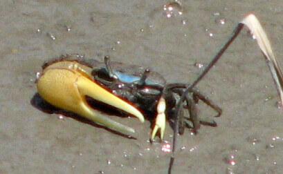 big-claw-crab-8