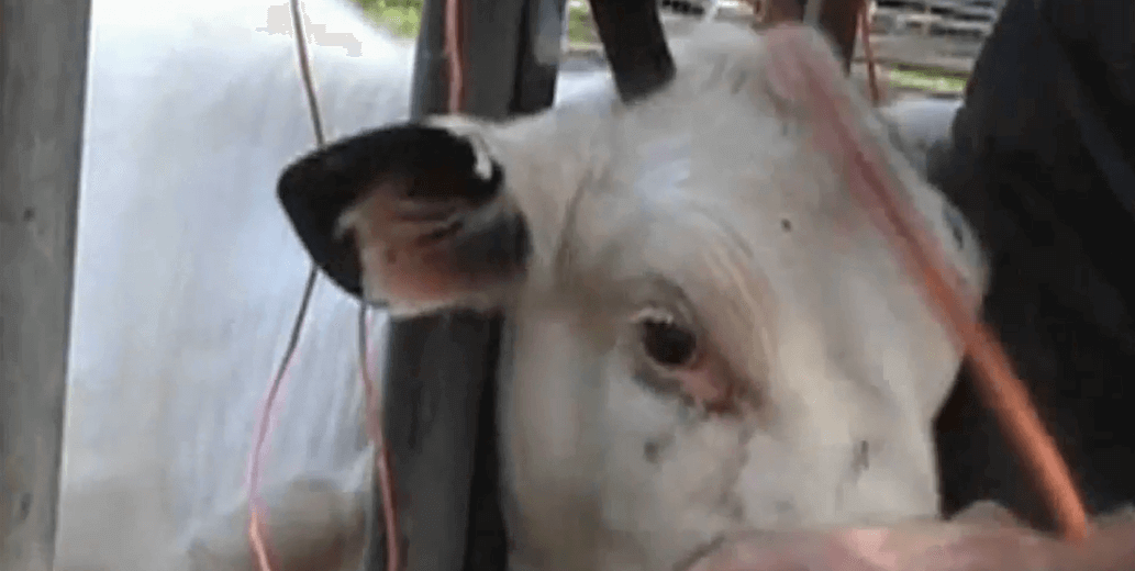 2013 – Efforts to End Dehorning