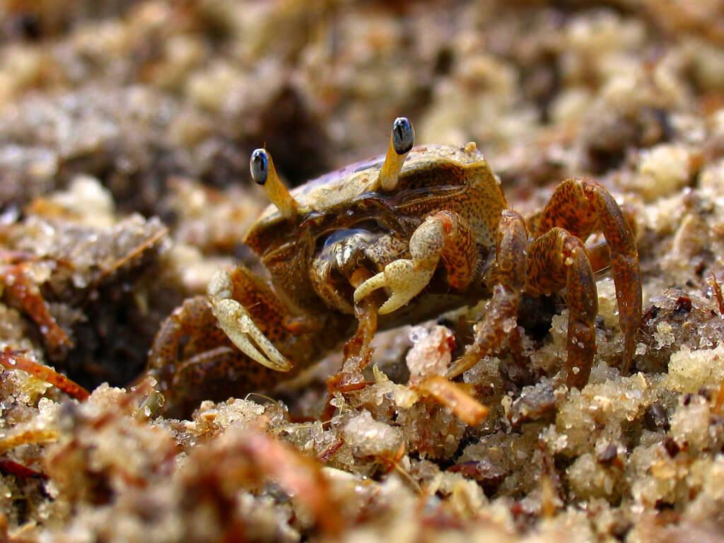 eating-fiddler-crab