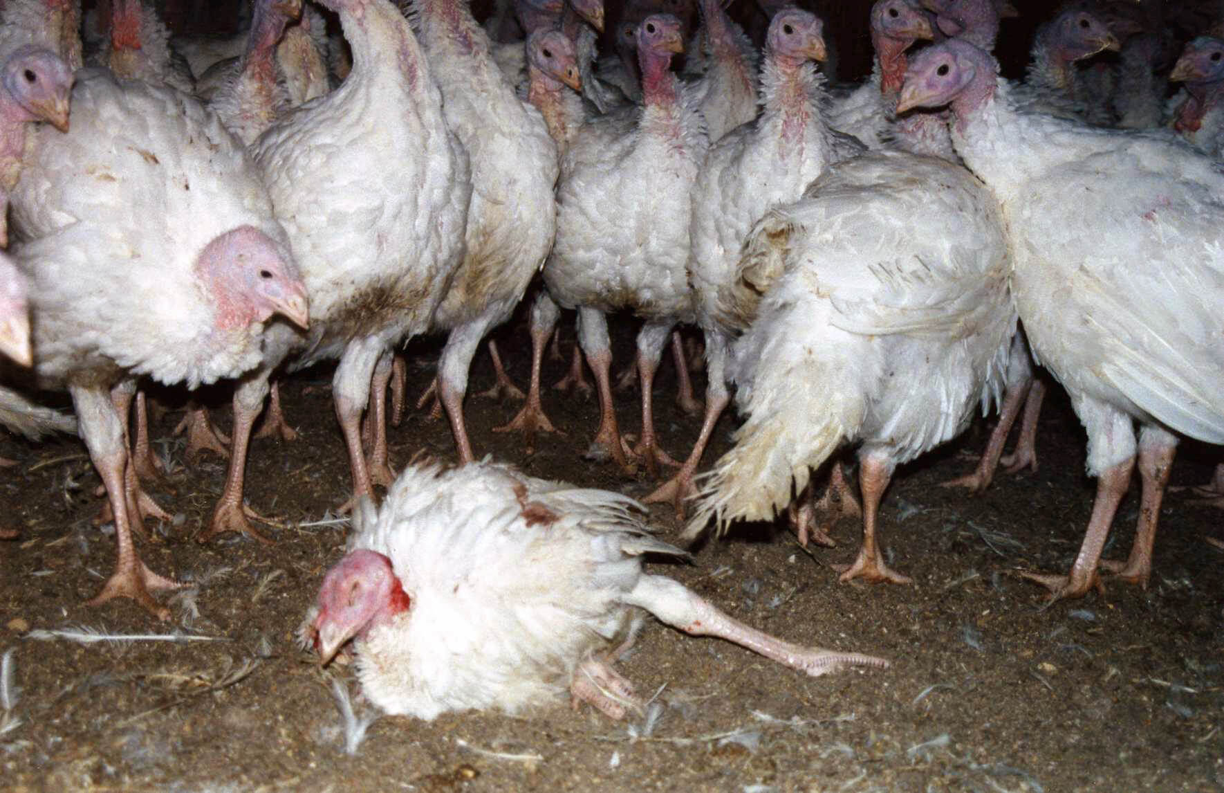 Can You Feed Turkey To A Dog