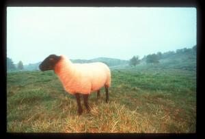 White Sheep Portrait on Grass