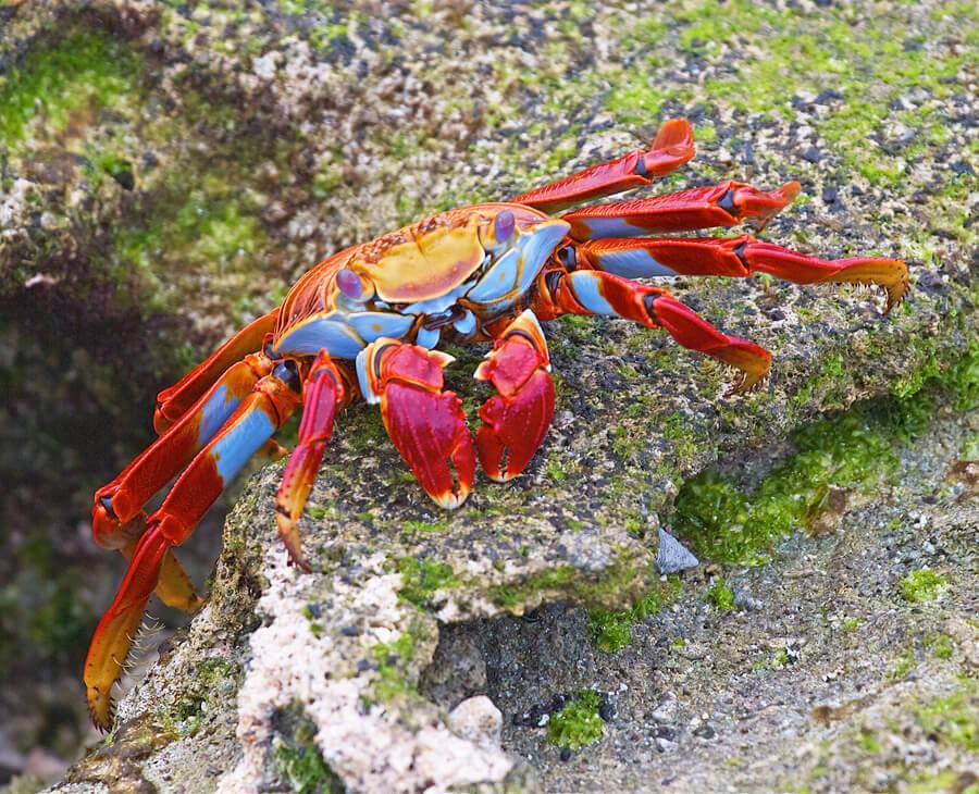 rainbow-crab