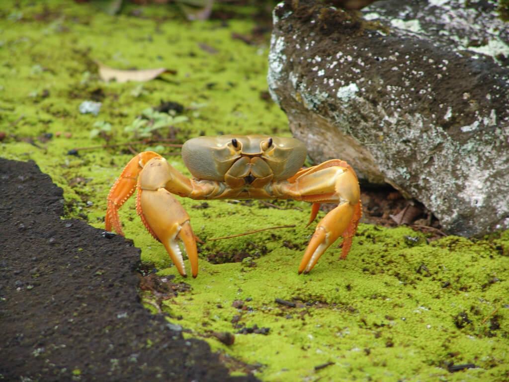 small-crab