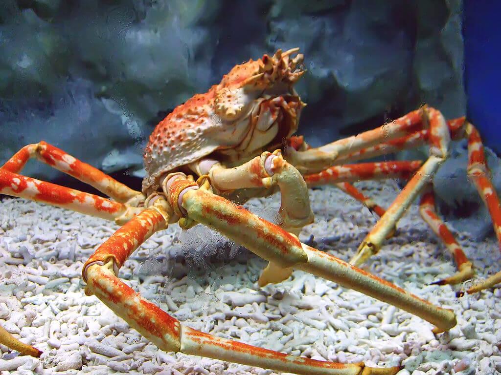 spider-crab