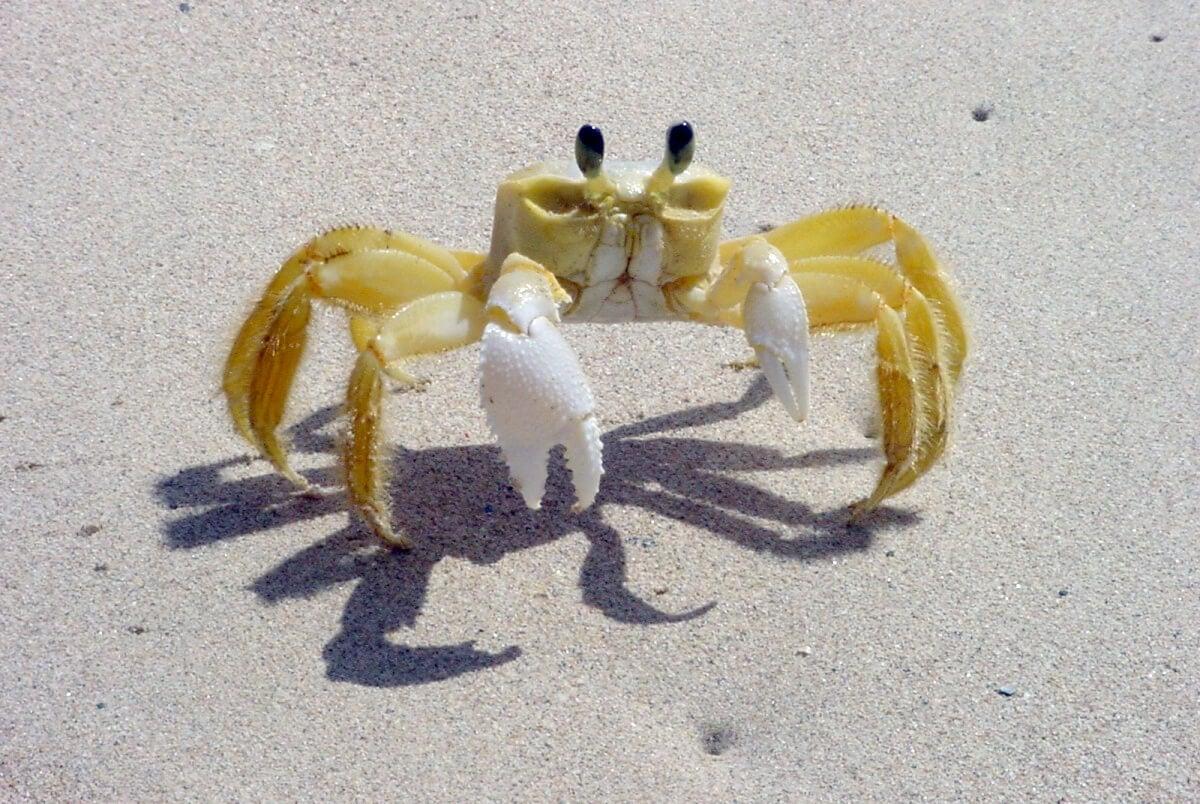 white-crab