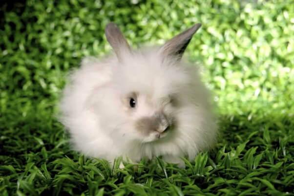 Angora Rabbit on grass