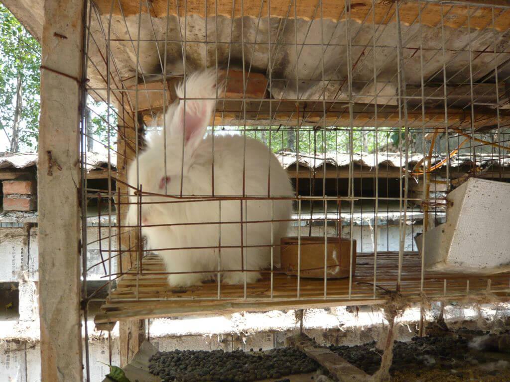 Angora rabbit in cage 1
