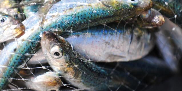 Sad Fish Bodies in Net