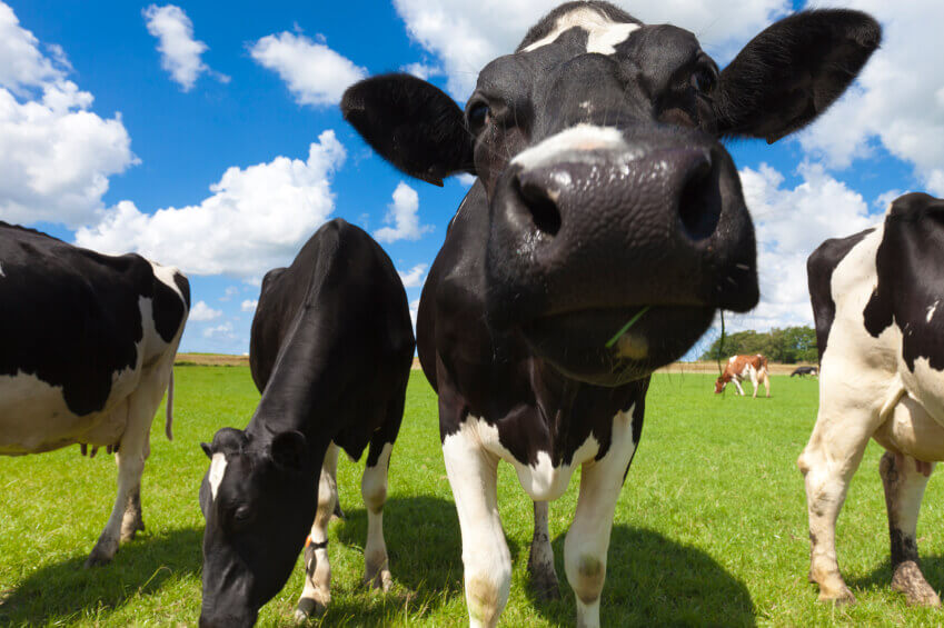 Why is cow's milk bad for you essay