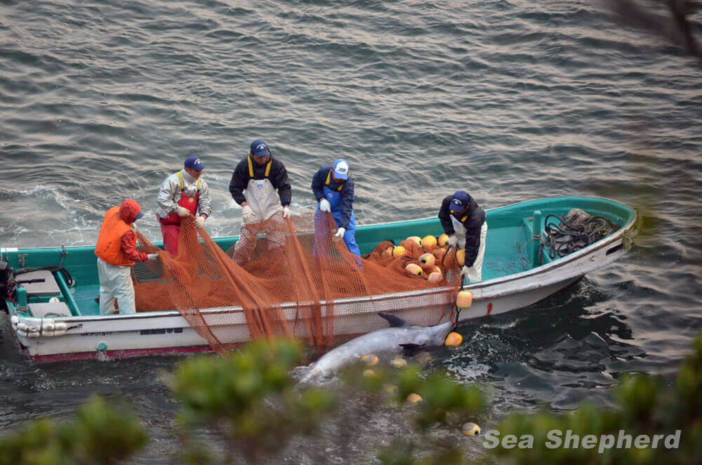 140121-Killers-remove-a-drowned-dolphin-from-the-nets-032