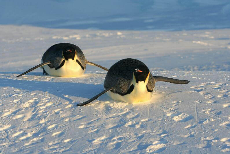 Emperor Penguins Sliding in Snow