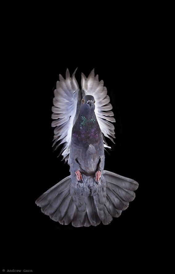 Gorgeous Pigeon Flying