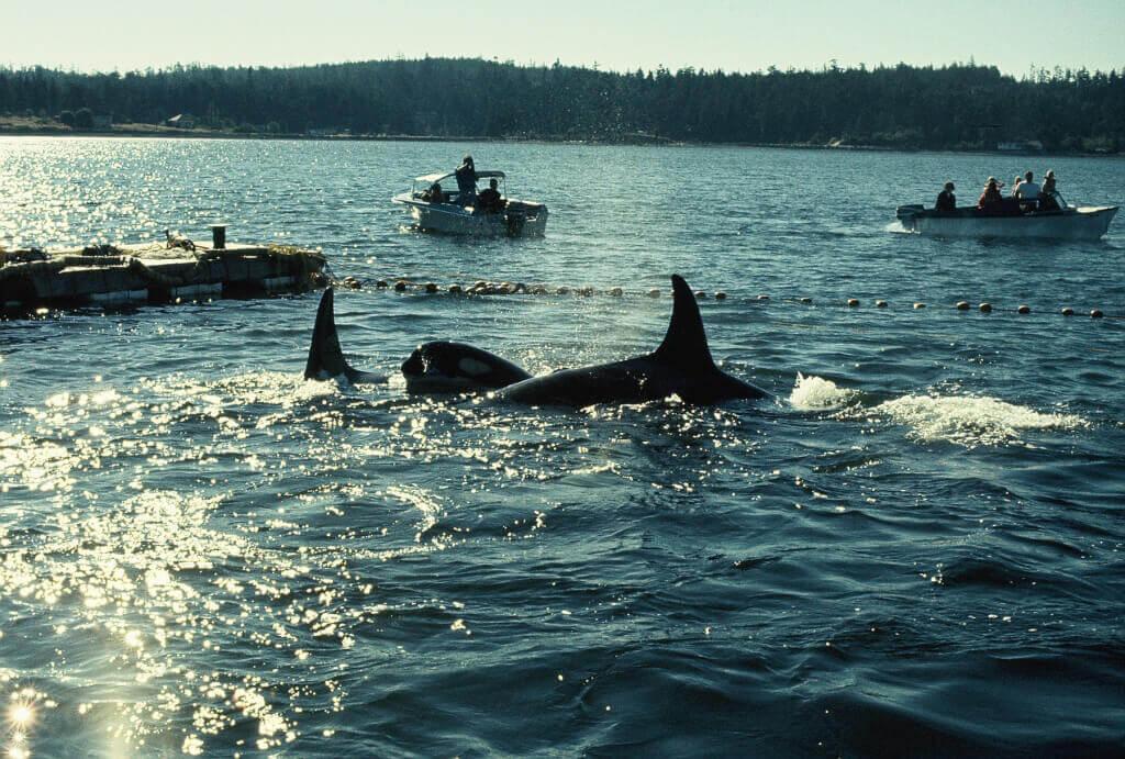 1971 Orca capture off the coast of Washington State (Lolita and Family)