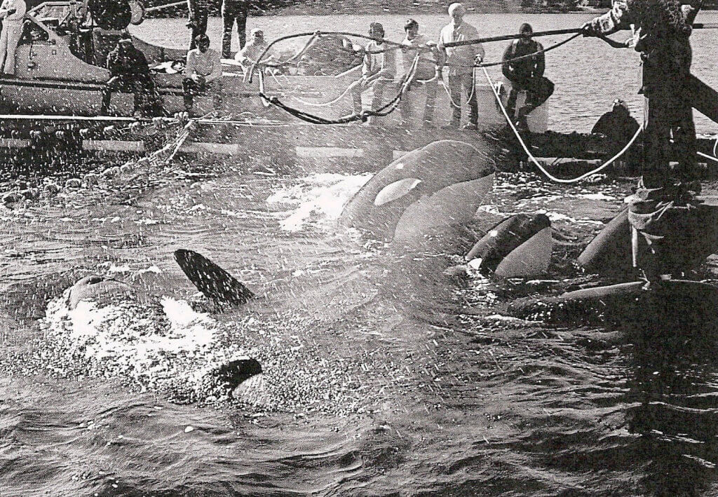 1971 Orca capture off the coast of Washington State (Lolita and Family)