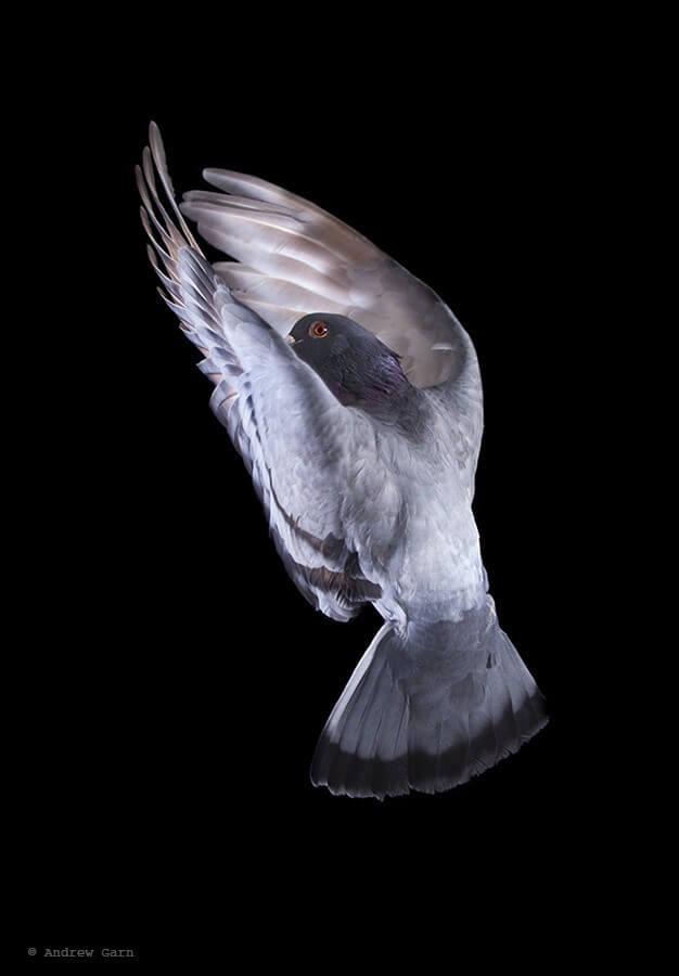 Pigeon Flying Andrew Garn