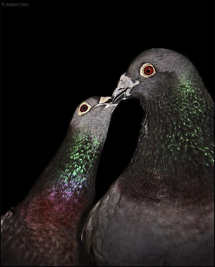 Pigeons Kissing Andrew Garn