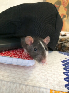 Ricky the Rat