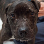 Sad Pit Bull Melissa with Face Scars