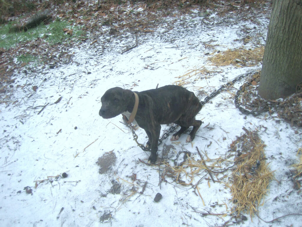 Starving Chained Pit Bull Melissa