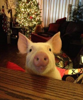 New Book Tells the Story of an Adopted 'Mini' Pig Who Grew to 600 Pounds of Pure Love