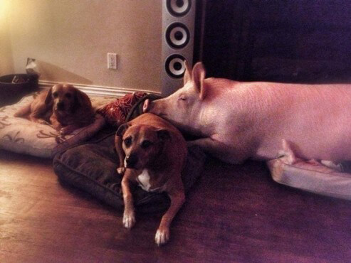 Esther the Pig with Dog Friends
