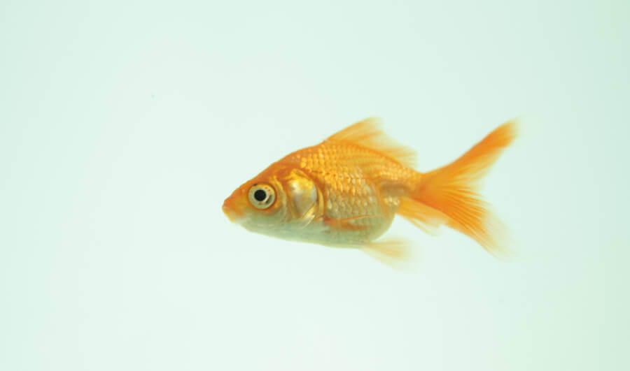 9 Reasons Why Fish Are Really Sad Pets Peta