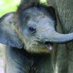 Happy Baby Asian Elephant