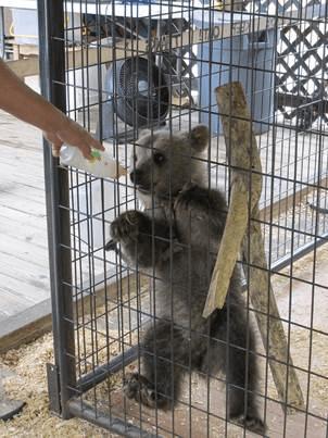 Bear Cub at Cherokee Bear Zoo Hanging on Enclosure