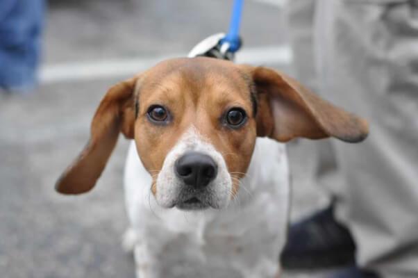 Cute Beagle Dog at PETA Spayathon 2014