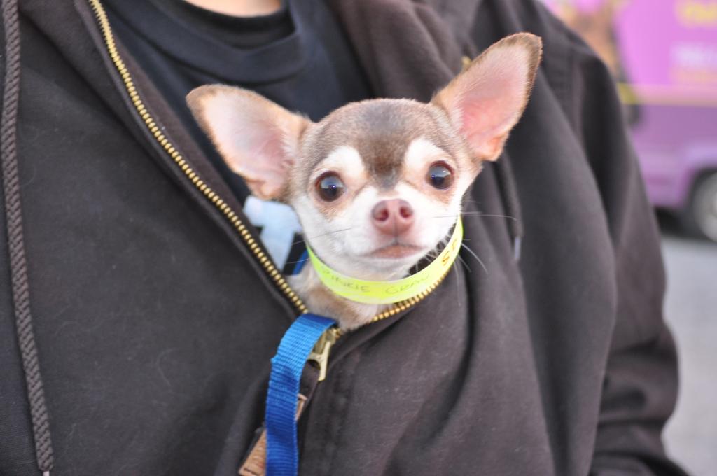 Cute Chihuahua Dog PETA Spayathon 2014