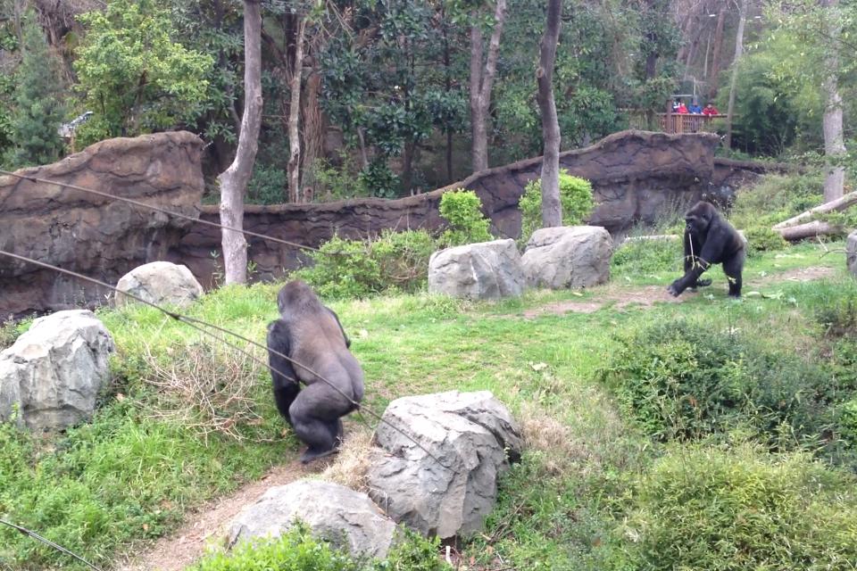Dallas Zoo Gorillas