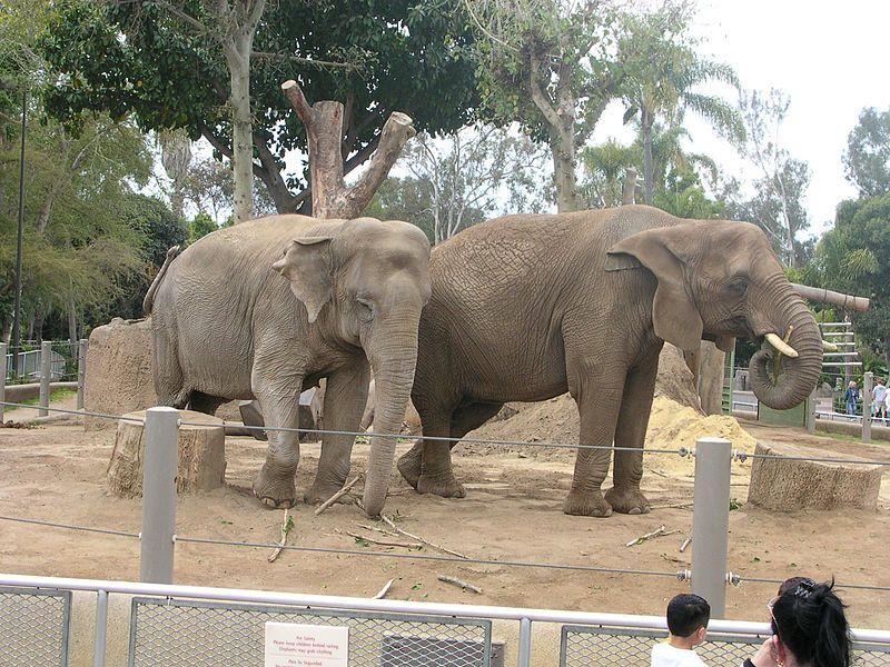Elephants-San-Diego-Zoo