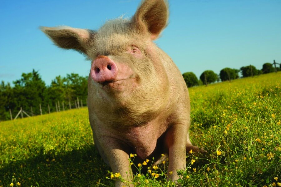 Happy Pig In Field