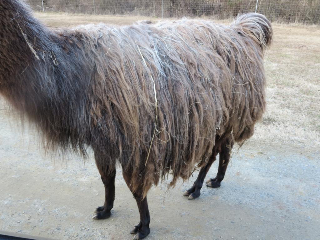 Llama with matted hair at Lazy 5 Ranch