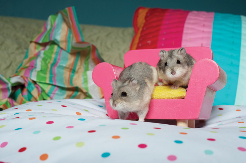 Cute Hamsters On Mini Couch