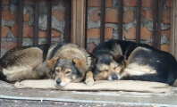 Russian Stray Dogs