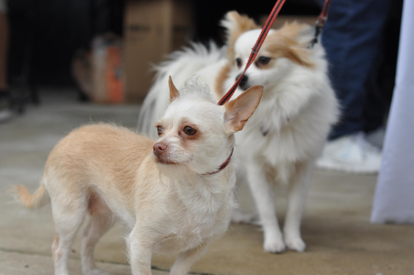55+ Miniature Dachshund Puppies For Sale Near Me ...