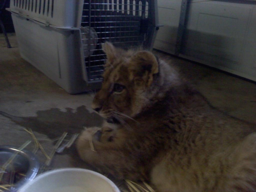 Tiger Cub Baby Kirshner (1)