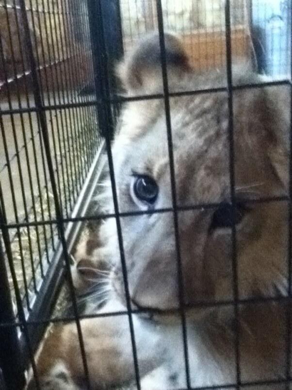 Tiger Cub Samson Kirshner (2)