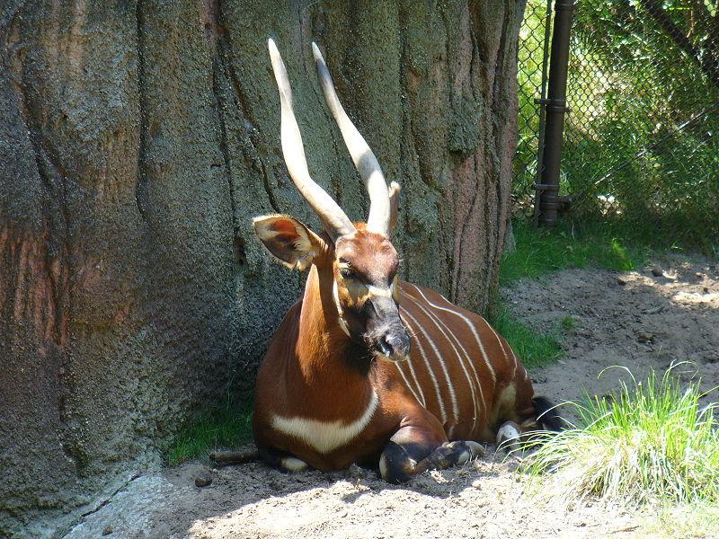 Bongo in Zoo