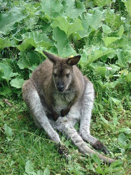 cleveland-zoo-kangaroo