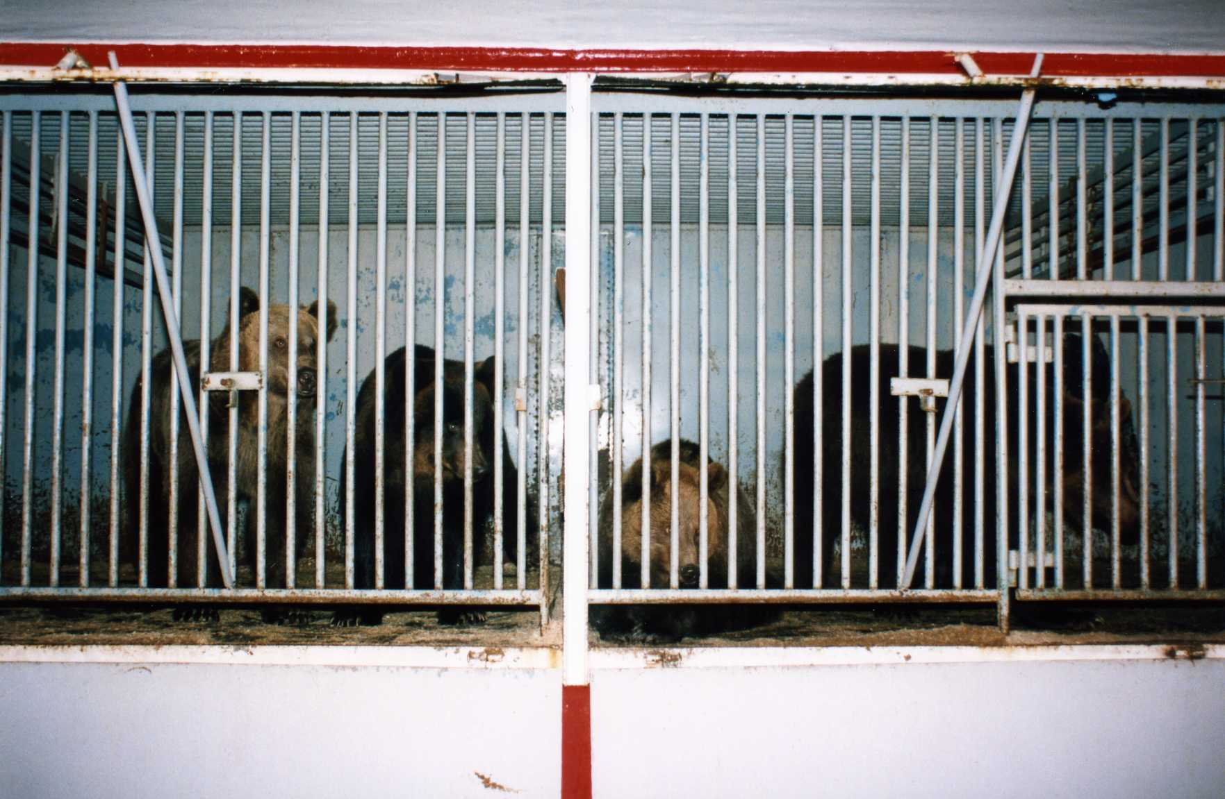 Circus bears in cages