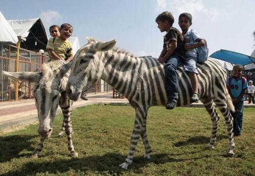 painted-donkeys-zebras