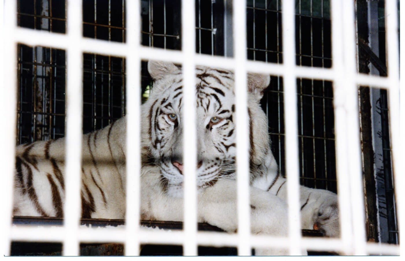 White tiger in cage