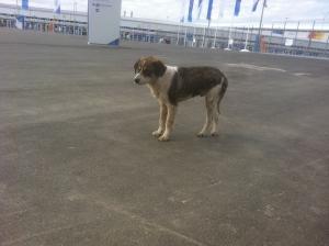 dog in Sochi